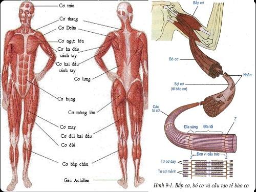 các loại cơ trên cơ thể